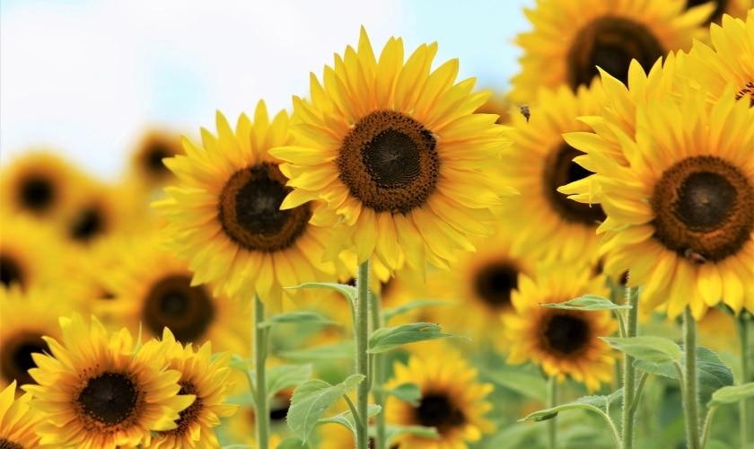 Sonnenblumen - Achtsamkeit